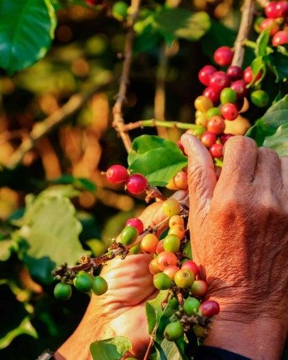 Pflücken von Kaffeebohnen