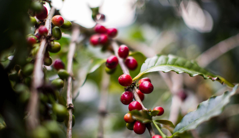Semi di caffè arabica